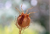 DRIED SEED HEAD OF NIGELLA DAMASCENA