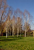 GROUP OF BETULA UTILIS VARIETY JACQUEMONTII AT BROBURY HOUSE GARDEN