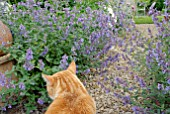 NEPETA SIX HILLS GIANT AND GINGER CAT