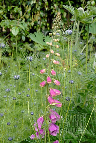 DIGITALIS_PURPUREA_AND_NIGELLA_DAMASCENA