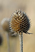 DIPSACUS ASPER SEEDHEAD IN WINTER