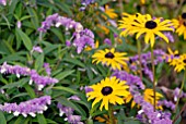 RUDBECKIA GOLDSTURM AND SALVIA LEUCANTHA