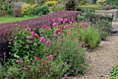 BORDER WITH PENSTEMON GARNET, PENSTEMON CLARET,DAHLIAS AND RED BERBERIS HEDGE AT CAMERS, GLOUCESTERSHIRE