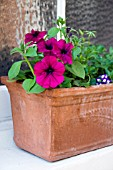 WINDOW BOX WITH PETUNIA,  HURRAH VELVET
