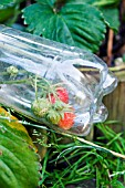 STRAWBERRIES GROWING IN PLASTIC BOTTLE AS PROTECTION AGAINST BIRDS