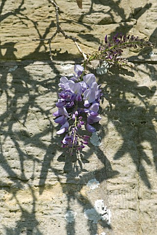WISTERIA_FLOWER_AGAINST_SANDSTONE_WALL