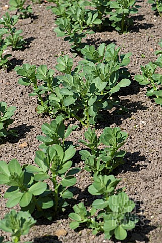 BROAD_BEANS_PLANTED_TO_FEED_BORDER_SOIL