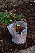OVERWINTERING A NON HARDY FUCHSIA - INSULATING WITH BUBBLE WRAP