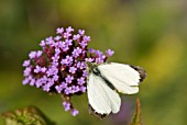 VERBENA BONARIENSIS AND WHITE BUTTERFLY