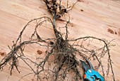 BARE ROOTED BEECH WHIP - FAGUS SYLVATICA