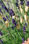 LAVANDULA AND BRIZA