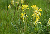 COWSLIPS NATURALISED IN GRASS