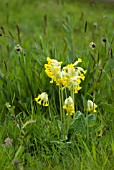 NATURALISED COWSLIPS