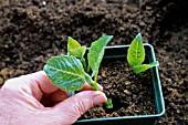 HydrangeaMacrophylla