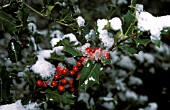 SNOW ON ILEX X  ALTACLERENSIS