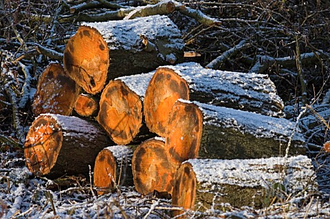 FRESHLY_CUT_LOGS_WITH_SNOW_DUSTING