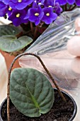 COVERING AFRICAN VIOLET LEAF WITH PLASTIC