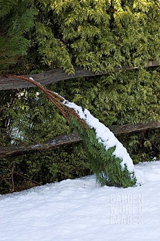 SNOW_WEIGHING_DOWN_A_CONIFER_BRANCH