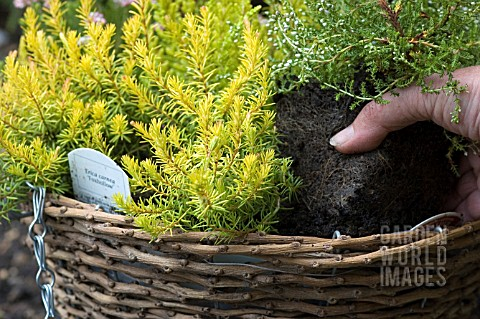 PLANTING_UP_HEATHERS_INTO_HANGING_BASKET