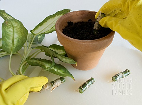 DIEFFENBACHIA_DUMB_CANE_PLANTING_STEM_CUTTINGS