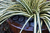 CAREX OSHIMENSIS EVERGOLD WITH PEBBLE MULCH