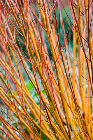 CORNUS_SANGUINEA_WINTER_BEAUTY