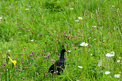 MOORHEN_IN_WILD_FLOWER_MEADOW