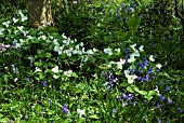 BLUEBELLS WITH TRILLIUM AND FERNS