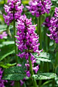 STACHYS OFFICINALIS HUMMELO