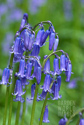 HYACINTHOIDES_NONSCRIPTA_ENGLISH_BLUEBELL