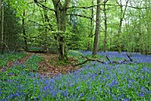 HYACINTHOIDES NON-SCRIPTA BLUEBELLS IN BEECH WOOD