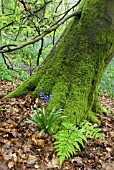 HYACINTHOIDES NON-SCRIPTA, BLUEBELL AT BASE OF TREE