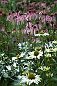 MIXED PLANTING ECHINACEA WITH ERYNGIUM