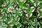 TRIFOLIUM REPENS DRAGONS BLOOD