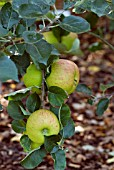 APPLE BRAMLEYS SEEDLING
