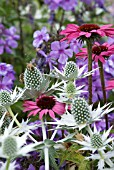 COMBINATION OF ECHINACEA, ERYNGIUM AND PHLOX