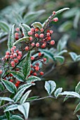 HOAR FROST ON NANDINA DOMESTICA
