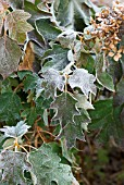 HYDRANGEA QUERCIFOLIA WITH WINTER FROSTY EDGES
