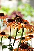 BUTTERFLY ON ECHINACEA ARTS PRIDE