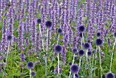 ECHINOPS RITRO VEITCHS BLUE WITH AGASTACHE BLUE FORTUNE