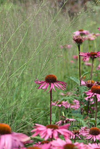 FEATHERY_GRASSES_AND_ECHINACEA