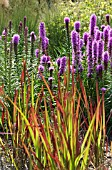 LIATRIS WITH IMPERATA CYLINDRICA RED BARON