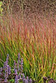PANICUM VIRGATUM REHBRAUN WITH AGASTACHE BLUE FORTUNE