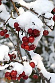 MALUS RED SENTINEL BERRIES AFTER SNOW FALL