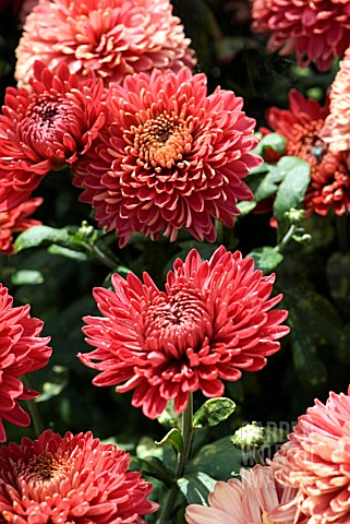 CHRYSANTHEMUM_RED_MYSS_JEM