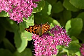 SEDUM SPECTABILE ROSENTELLER WITH COMMA BUTTERFLY