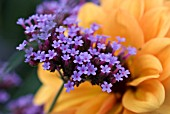 VERBENA BONARIENSIS WITH BACKGROUND DAHLIAS