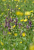 BREEZY SPRING MEADOW WITH ORCHIDS