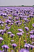 FIELD OF PHACELIA TANACETIFOLIA,  LACY PHACELIA,  JUNE