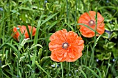 PAPAVER RHOEAS IN LONG GRASS